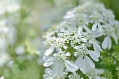 white lace (snowshoe hare*) Tags: flowers white botanicalgarden orlaya dsc0697