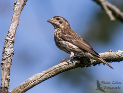 Purple Finch ( female) (Shawn Collins Photography) Tags: bird nature birds canon outdoors photography pennsylvania wildlife birding sparrows grasslands mercercounty crawfordcounty bobolinks venangocounty pabirds pabirding
