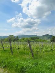 Wachau (Marie Kappweiler) Tags: green austria europe wine pflanze vert vin niederösterreich vigne wachau wein waldviertel weinberg rebe grüm