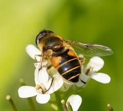 Hoverfly - Eristalis horticola (Graham Dash) Tags: macro insects surrey flies cobham hoverflies painshillpark painshill tamron90mm28macro eristalishorticola