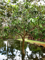 (Kelly Rene) Tags: reflection tree nature cambodge cambodia southeastasia flood outdoor kh siemreap indochina banteaysrei
