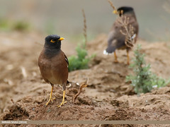 Common Myna (Acridotheres tristis) (gilgit2) Tags: pakistan birds fauna canon geotagged wings wildlife feathers tags location species tamron category avifauna acridotherestristis chitral kpk commonmynaacridotherestristis imranshah canoneos7dmarkii tamronsp150600mmf563divcusd gilgit2 dalamus