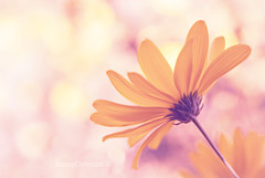 dreams of summer (stacey catherine) Tags: summer plant flower nature yellow garden dof bokeh profile dreams hss