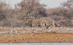 CAC_7929-20150922 (C&P_Pics) Tags: na waterhole namibia burchellszebra etoshanationalpark oshikoto namutonicamp