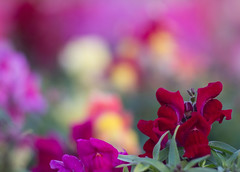 TAIR-11A bokeh (2) (OzzRod) Tags: flowers macro pentax bokeh snapdragon extensiontube gregson k50 tair11a135mmf28