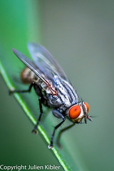 Resting (Julien//K) Tags: macro nature animal closeup insect outdoors fly nikon wildlife details 28 tamron 90mm macrophotography d7100