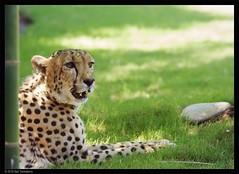 cheetah (Neil Tackaberry) Tags: life park wild animal gardens cat tampa zoo florida wildlife theme cheetah buschgardens busch