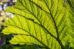 JML-2016-IMG_8919 (photo.jml) Tags: light spring lumire couleurs vert transparency printemps transparence feuille fleursetplantes