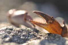 Scheren I (nirak68) Tags: deutschland flickr lbeck krabbe krebs ger schere werkzeuge krustentier woche19 175366 schleswigholsteinkreisfreiehansestadtlbeck 2016ckarinslinsede 52wochenfotochallenge