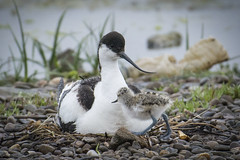 avocet brooding eggs with a 2 day old adopted chick (chromaphoto.co.uk) Tags: bird adult nest chick avocet rspb wader marshside