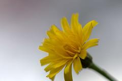 IMG_8899.CR2 (jalexartis) Tags: flowers flower spring dandelion bloom blooms