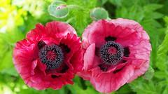 Eye see you [Part 18]: Poppies [Explored June 9, 2016] (G_E_R_D) Tags: pink green spring poppy frühling papaver mohn papaverorientale pattysplum eyeseeyou türkischermohn