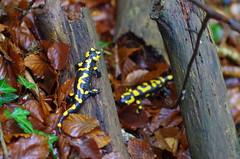 Feuersalamander (Aah-Yeah) Tags: bayern salamander salamandra achental chiemgau caudata firesalamander feuersalamander schwanzlurch