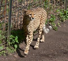 Sdafrikanischer Gepard (Acinonyx jubatus jubatus) P1000898 (martinfritzlar) Tags: cat zoo cheetah katze tiergarten tier nrnberg gepard felidae sugetier acinonyx jubatus raubtier
