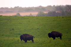 Two bison stand in the rain at Neal Smith National Wildlife Refuge in Iowa (U.S. Fish and Wildlife Service - Midwest Region) Tags: spring wildlife iowa ia prairie bison grassland usfws usfishandwildlifeservice nealsmith nealsmithnationalwildliferefuge