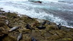 La Jolla Cove (Y. Peter Li Photography) Tags: california la san cove diego seal jolla
