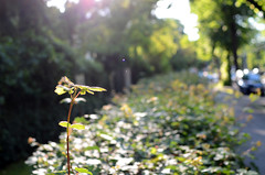 hedge (Wolfgang Binder) Tags: street city sun backlight zeiss alley nikon sidewalk hedge backlit hedgerow distagon distagont2825 d7000