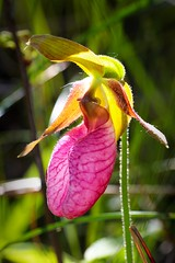 Moccasin Flower (beenbair) Tags: orchid flower purple native wetlands bog scrotum lacdubonnet moccasin