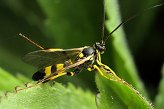 Large Ichneumon wasp - Amblyteles sp. (Lord V) Tags: macro bug insect wasp ichneumon