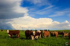 L59A7531.jpg (kendra kpk) Tags: sunset tractor water grass barn southdakota landscape spring cattle cows may ducks winner hay ideal johndeere alfalfa hamill avocet 2016 colome dakotawindsphotography daktawindsphotocom