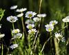 Wildflowers (hz536n/George Thomas) Tags: summer copyright flower june canon flora bokeh michigan canon5d nik upnorth wildflower prescott goldenhour ogemawcounty cs5 ef300mmf4lisusm