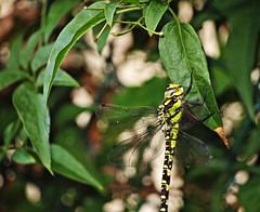 Untitled (AMoska) Tags: nature animal animals fauna insect leaf dragonfly natureza folha insecto libelinha