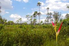 Campo hidromrfico - Cerrado - Nascente Rio Itapecuru - hydromorphic field - Savana - East River Itapecuru - (Albedi Junior) Tags: nature canon natureza ngc cerrado matogrosso mirador maranho t3i natgeo serradasararas
