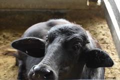 (dianajurado) Tags: animal outdoor farm ox animales farmanimal granja buey