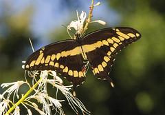 Giant Swallowtail (Papilio cresphontes) (AllHarts) Tags: ngc npc spac hollyspringsms butterflygallery naturesspirit giantswallowtailpapiliocresphontes naturescarousel
