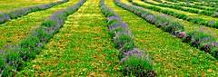 Terre Bleu Lavender Farm, Milton, ON (Snuffy) Tags: flowers ontario canada lavender milton level1photographyforrecreation terrebleulavenderfarm