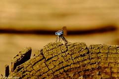 blue dragonfly resting (brianeagar) Tags: test nature animal june outside fuji 2016 100400 xt1 fuji100400 fujixt1 xf100400 fujixf100400