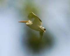 Birds on the Wing (ardeth.carlson) Tags: birds largebirds flyingbirds flight wings nature pelican