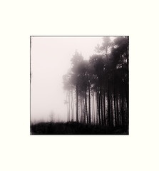 Guisborough Woods (Paul Evans.) Tags: wood trees mist tree woods