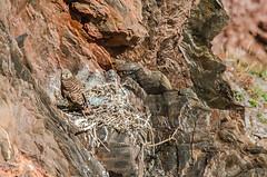 Kestyrel nest 2 (Matchman Devon) Tags: kestrel nest chick south hams devon