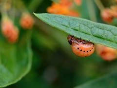 Milkweed Beetle (lady_with_thread) Tags: nature nikon beetle milkweed molting d5100