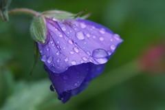 The summer of 2016 in Holland (Wim van Bezouw) Tags: flower nature water drops outdoor waterdrops geranium rosanna