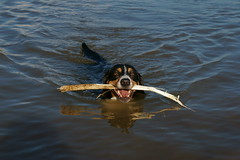 Playing in Water (moritzvonmaffei) Tags: dog water animal photography wasser sweet sony stock hund stick alpha tier benno ss