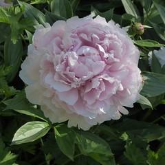 Wheaton, IL, Cantigny Park, Pink Peony Flower (Mary Warren (7.0+ Million Views)) Tags: pink plants flower nature flora blossom peony bloom cantignypark wheatonil
