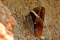 Thauria aliris - the Tufted Jungleking (BugsAlive) Tags: macro nature animal butterfly insect thailand outdoor wildlife butterflies insects lepidoptera chiangrai nymphalidae satyrinae liveinsects thauriaaliris thailandbutterflies  tuftedjungleking lamnamkoknp