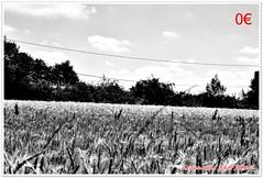 Variations sur les bls 08 (voyageursdumonde1) Tags: nature fleurs bl crales salaisesursanne france2016