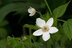 Wild anomone (KWaterhouse) Tags: white blooms purity wildflower lyndeshores whitby ontario canada nikond5300