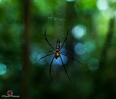 Banana Spider (CVSeymour Photography) Tags: yellow japan forest japanese spider scary dangerous web spiderweb banana jungle killer jp okinawa poisonous deadly bananaspider okinawaken kunigamigun