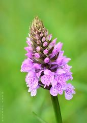 Wild Orchid (Gav Jensen) Tags: wild flower nikon gav lincolnshire d750 moor tamron 90mm jensen kirkby gavjensen