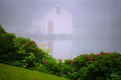 Red Door and Roses in Fog (photo fiddler) Tags: door roses summer reflection june fog bay novascotia solstice prospect vilage 2016 2016bay