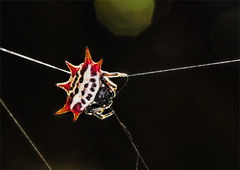Teenage Mutant Ninja Spider (kathybaca) Tags: macro nature animal forest insect spider colorful florida spiders earth wildlife web spin shell orb bugs creepy tiny planet weaver predator crawl crabspider invertabrates