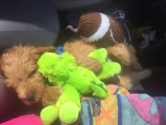 Sophia and Chewy's Oscar loves his new snuggle toys!