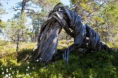Twisted (estenvik) Tags: 2016 erikstenvik estenvik juni nordtrndelag norge norway salsnes furu pine tre tree forvridd vridd twisted skog forest wood utmark