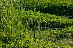 Little Young Heron (brev99) Tags: green bird nature grass pond marsh greenheron d7100 ononesoftware tamron180f35 topazdetail highqualityanimals perfecteffects10