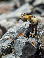 golden mantled ground squirrel - banff NP, canada (AB) 3 (Russell Scott Images) Tags: canada ab alberta banff rodents banffnationalpark goldenmantledgroundsquirrelcallospermophiluslateralis