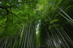 Upright (tez-guitar) Tags: wood summer green forest temple kyoto pentax wide sigma bamboo pentaxart
